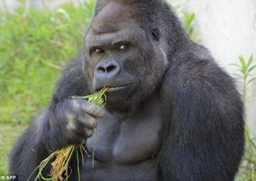 The western lowland gorilla was raised at Sydney's Taronga Zoo but moved to Japan in 2007