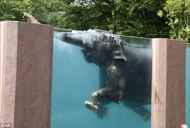 A Japanese Zoo has created a large glass swimming tank, so the giant creatures can get some exercise and so visitors can watch underwater