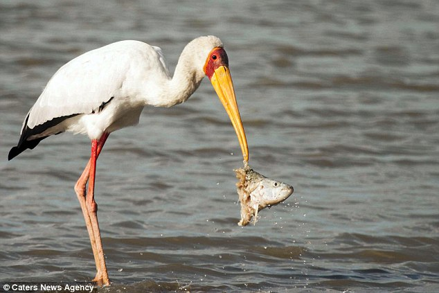 The stork manages to pluck out the head of a tiger fish, which was floating just underneath the surface of the water