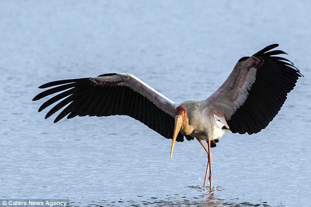 The yellow-billed bird was attempting to find a fish in the shallows of the lake in the African reserve