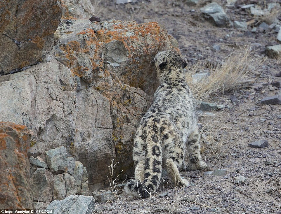 According to Ms Vandyke, without the help of some local guides, they would never be able to track down the snow leopards