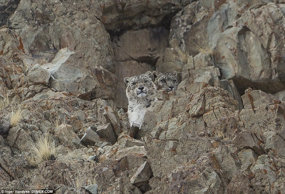 The snow leopard, pictured, with a second just behind, blended into the rocky mountain above the village of Ladakhi, India