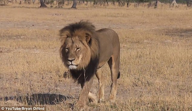 Cecil the lion (pictured) strayed outside the park and was brutally attacked by a poacher, who initially used a bow and arrow to wound the beast