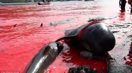 Zmasakrowanych: Korzystanie harpunów i noży, wieloryby osierocone pilotażowe zostały poddane ubojowi na plażach