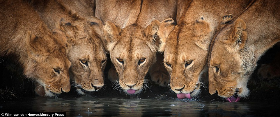 It's thirsty work being a lion in the wild, with this group of five having a drink of water together