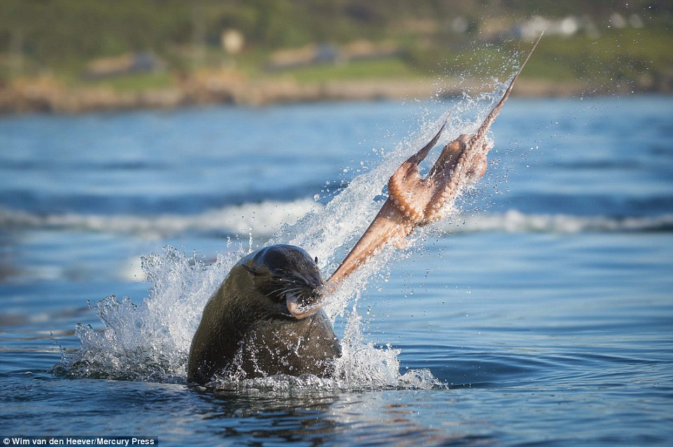 This shot of a seal bull swinging an octopus around is something you won't see everyday