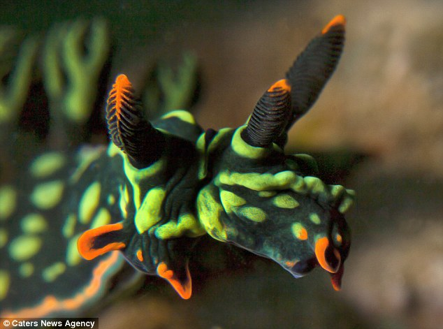 Divers have discovered what is believed to be the world's first two-headed sea slug (pictured). The psychedelic creature is thought to have two heads sue to a birth defect or even pollution