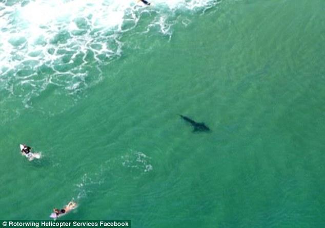 Αποτέλεσμα εικόνας για SHARK SWIMMING NEXT TO PEOPLE MIAMI
