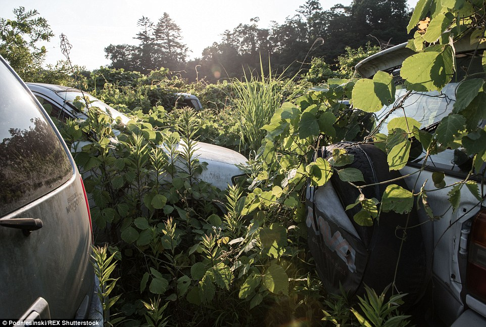After four years without maintenance, bushes and shrubs have slowly swallowed the cars left abandoned in the area