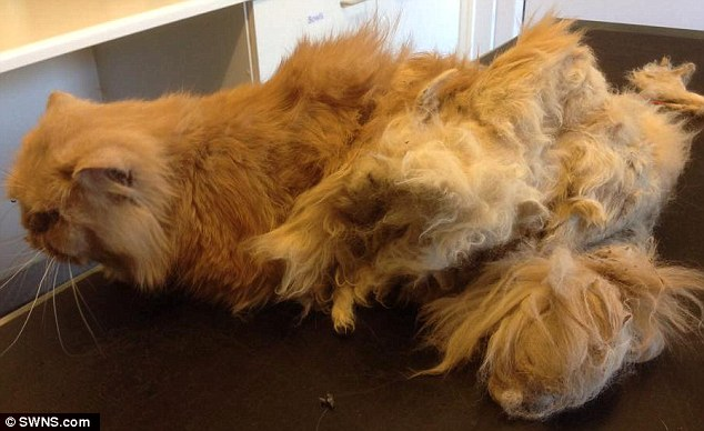 Persian Ginger Cat Found With Matted Fur So Bad That It
