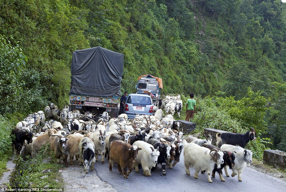 Goat out the way: These animals regularly cause serious traffic jams during rush hour between Pokhara and Nayapul in Nepal, Asia
