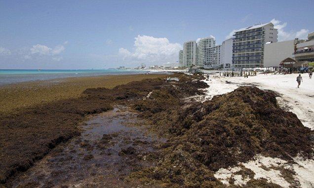 Sargassum Seaweed Terrorizes Beaches From The Caribbean To
