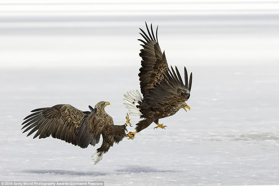 Giovanni Frescura from Italy shared his image - of an eagle latching on to another as they battle in the snow - with the competition