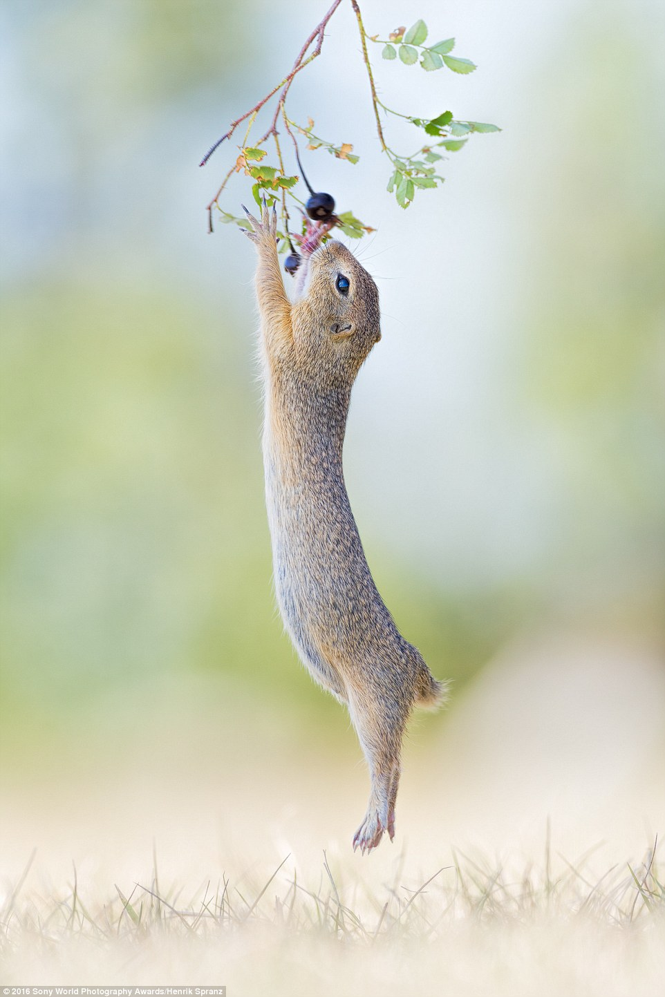 Henrik Spranz from Germany sent in his incredible image of a cute critter jumping up to reach wild berries for its lunch