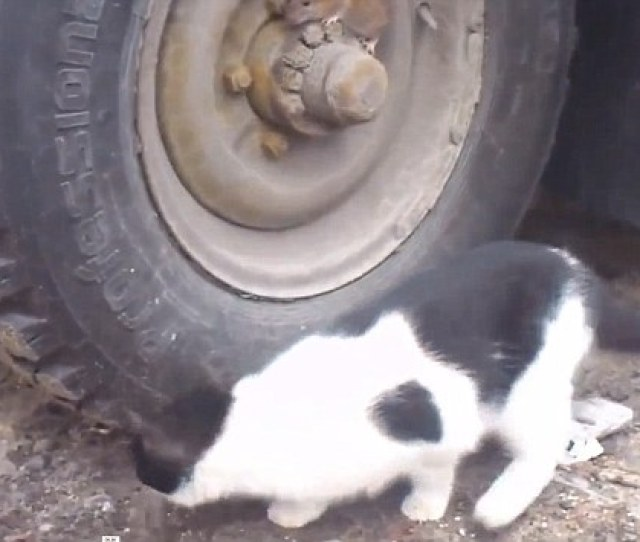 The Cat Circled The Vehicle With Its Nose To The Ground And Ears Pricked And Attempted
