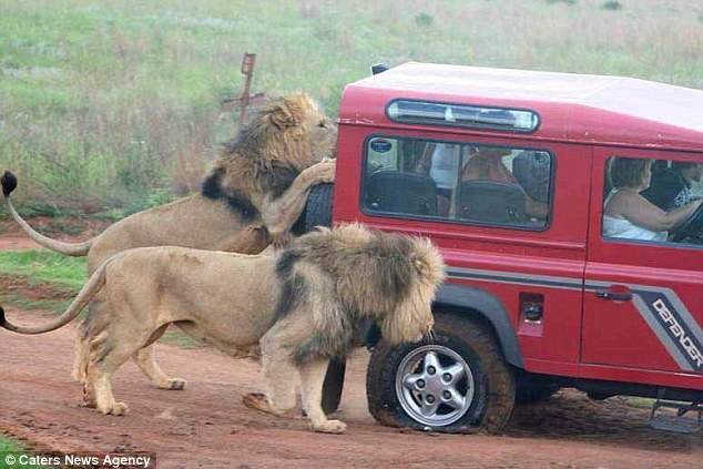 Terrifying: Tourists watched in fear as lionsin the Serengeti National Park spent an hour attacking their vehicle