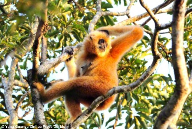 More than half of the world's primates are at risk of dying out due to the threat posed by habitat loss and hunting. The Hainan gibbon (pictured) is thought to be the world's most endangered primate, with just 25 of the animals left living on an isolated island in China