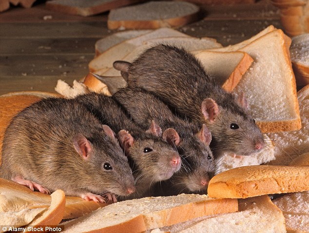 Britons have been warned to watch out for rats invading their homes after the odds were slashed on it being the coldest winter in a century
