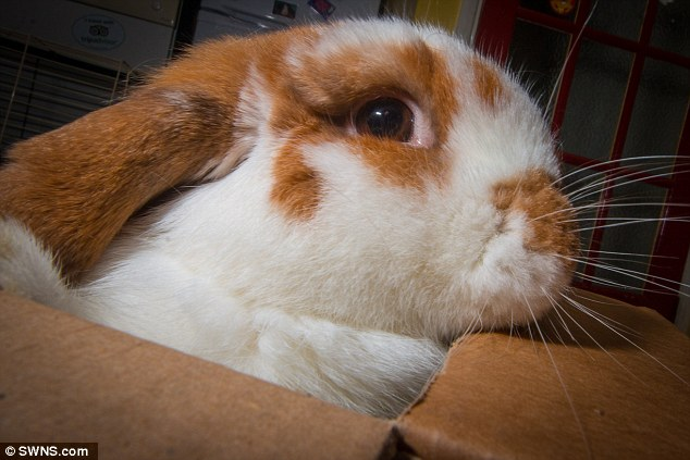 Image of: Comfy Animal Shelter Calls In Pet Psychologist To Treat Violent Rabbit The New York Times Animal Shelter Calls In Pet Psychologist To Treat Violent Rabbit