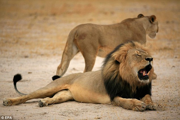 African lions are to be placed under the protection of the Endangered Species Act, five months after a famous lion named Cecil (pictured) was killed in Zimbabwe by an American dentist. Lions in central and west Africa will be listed as endangered while a second subspecies in southern and eastern Africa will be listed as threatened