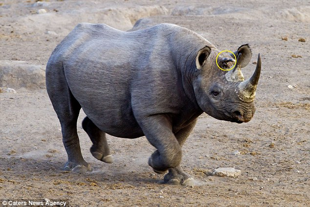 Mutant Black Rhinoceros Has THREE Horns: Extremely Rare