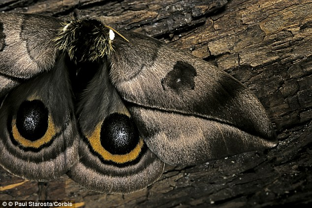 The hexagonal arrangement of the spheres also mimics the compound lenses in a moth's eye (pictured). A moth's eye is known to be exceptionally good at absorbing light in order to give it the best chances of seeing and avoiding a predatory bat