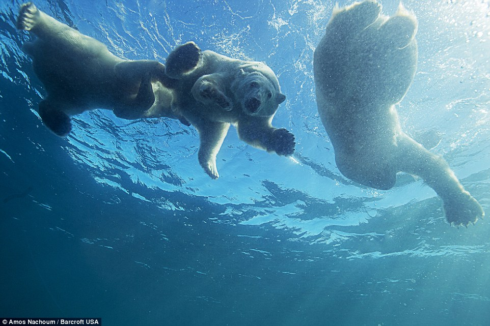 Polar Bear Teaches Her Cubs To Swim In Canada In Amazing