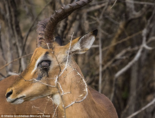 Impala Gets Impaled By Part Of A Rival's Horn Stuck In Its