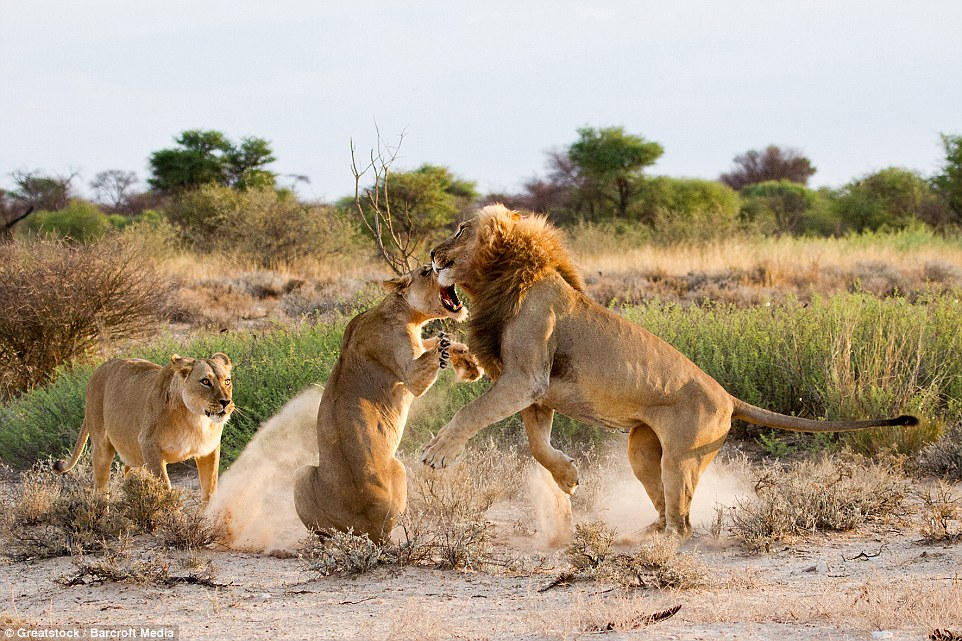 Fighting back: The mouth of the lioness is wide open as she tackles her partner in the air as he attempts to stand up to her in the fight