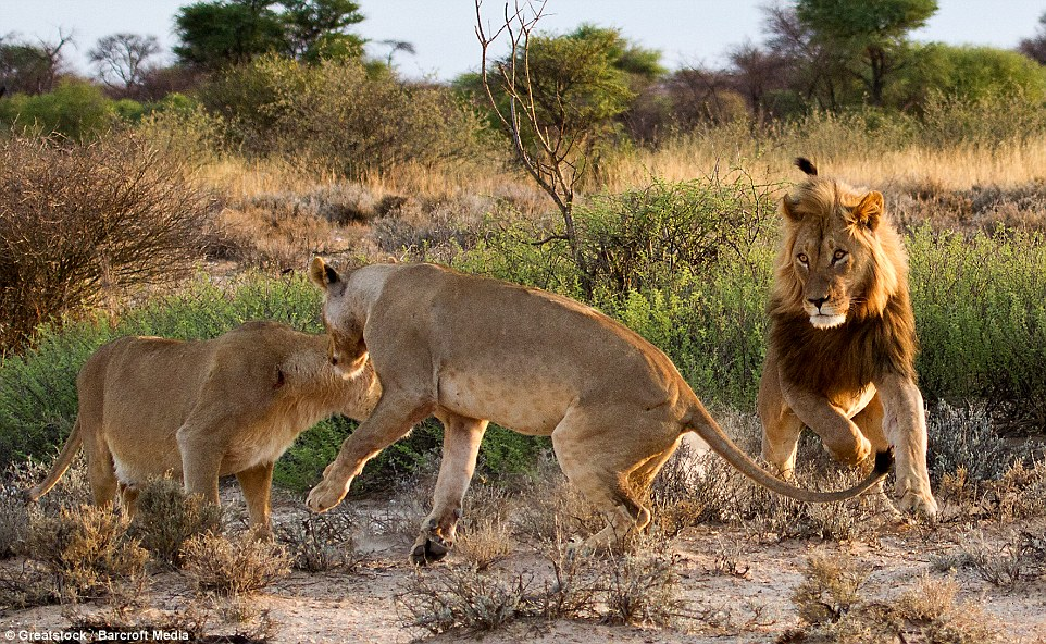 That's my man! The lioness spotted another female snooping around her male companion and reacted angrily, running towards the pair