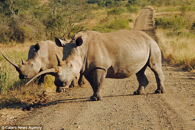 White Rhino At Hluhluwe Game Reserve In South Africa Has A