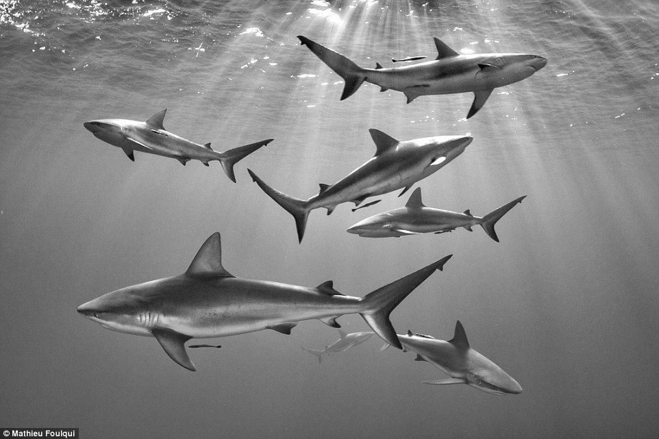 Photographer Mathieu Foulqui from France took this incredible image of Caribbean reef sharks in the marine sanctuary of Gardens of the Queen in Cuba