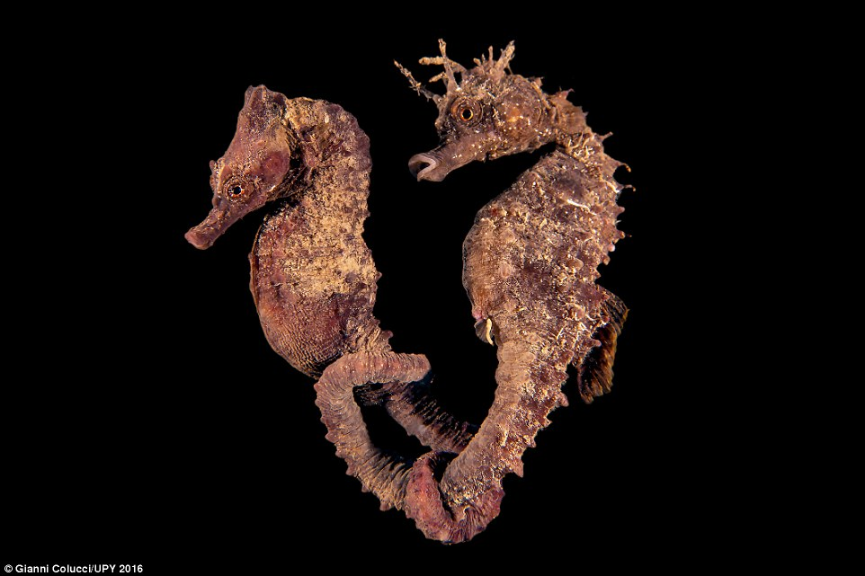 Gianni Colucci from Italy also captured seahorses. He said: 'During a night dive at around midnight, I found this pair of seahorses. I watched, mesmerised as they swam in the shallows holding each other by the tail. The scene was something majestic, a magic only enhanced by the beauty of the location, illuminated by the full moon'