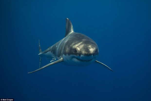 Draper snapped this great white shark as it drifted through the ocean around the Neptune Islands, Australia
