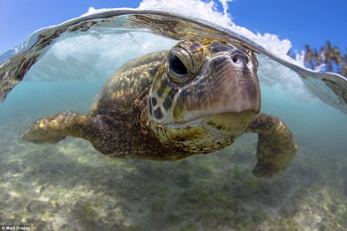 Draper's pictures are so mesmerising that his Instagram account, where they can be found, has 70,000 followers. Pictured is a green sea turtle in Oahu, Hawaii