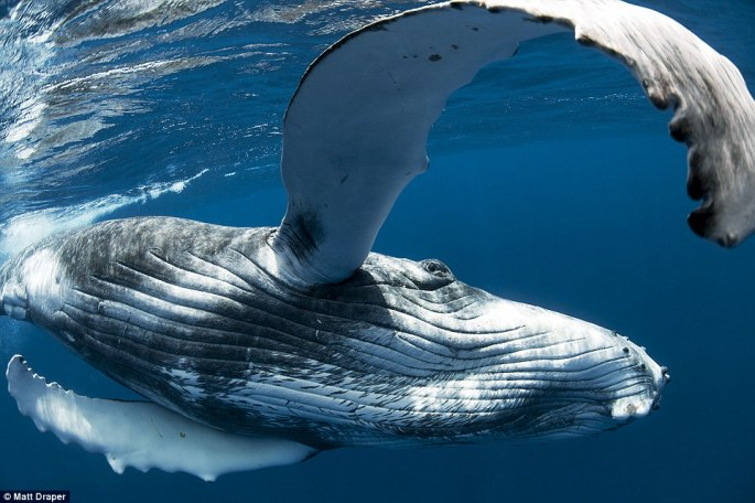 This humpback whale almost appears to be attempting to put its huge fin around Draper. He took this picture in Vava'u in the Kingdom of Tonga