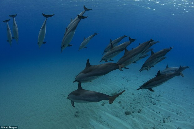 This incredible image shows spinner dolphins in Oahu, Hawaii. According to Draper they were synchronising their breathing pattern while resting off the coast