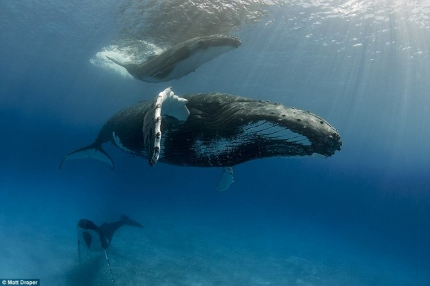 This image is called Three's A Crowd - and shows humpback whales in Vava'u, gracefully making their way through sun-kissed waters