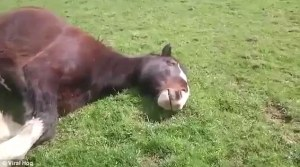 Cute video shows very relaxed horse snoring in his sleep   Daily Mail Online