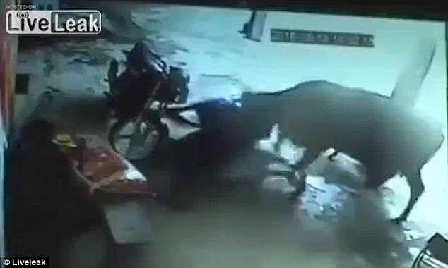 La vaca golpea a los hombres en el suelo y la niña logra escapar, pero se derrumba y luego muere