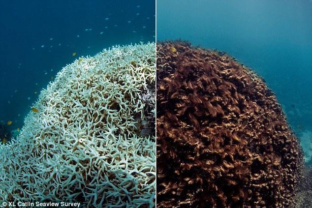 algal bleaching के लिए चित्र परिणाम