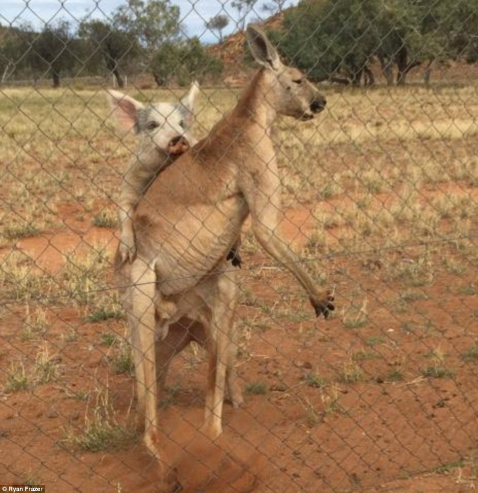 Mr Frazer said when the kangaroo was 'finished' the pig tried to jump on his back to 'reciprocate'