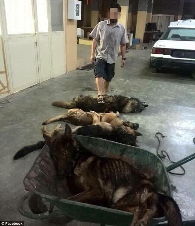 Gloating: At least 24 dogs were slaughtered. Pictures of their dead bodies were posted on Facebook, including an image showing a worker standing on top of one of the canines