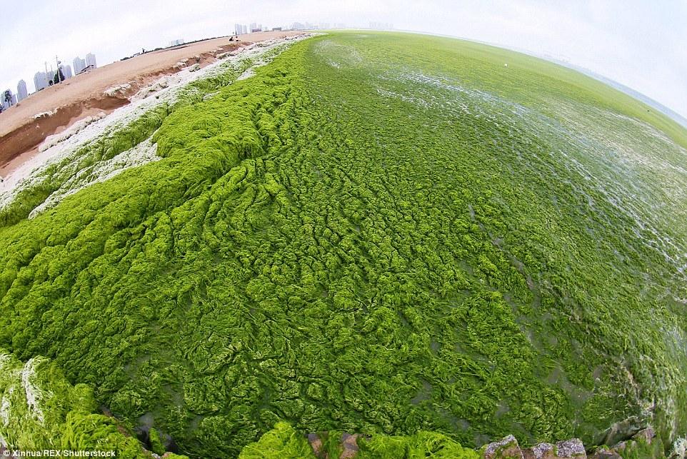 Chinese Beach Goers Use Green Algae As Sunblock In Bizarre