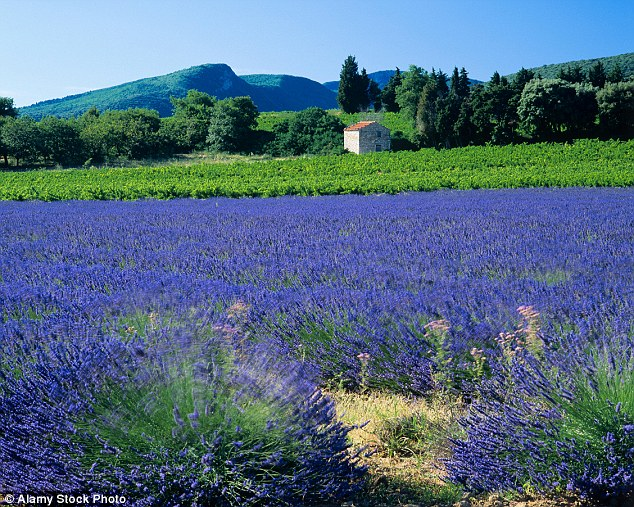 The vineyards of Provence, where foodies and wine connoisseurs flock to enjoy the region's pricey delights