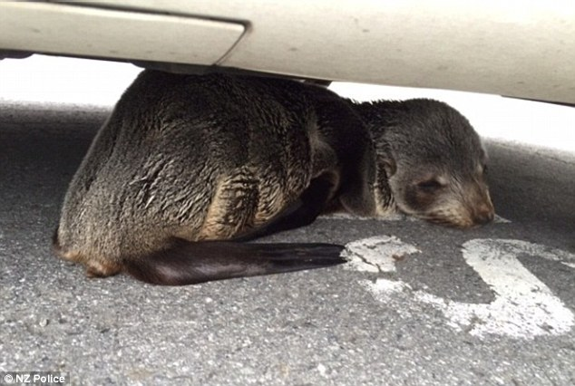 Trespassing seal pup has been detained by police after loitering under a car inside a police station