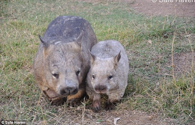 A group of Queensland scientists believe it is just one year away from performing the world's first ever artificial insemination for the critically-endangered southern hairy-nosed wombat