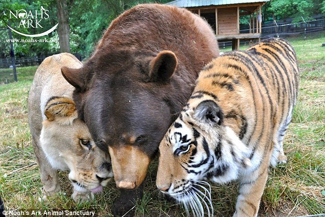 The purrfect BLT: The bear, lion, tiger trio were an unusual bromance that lasted 15 years