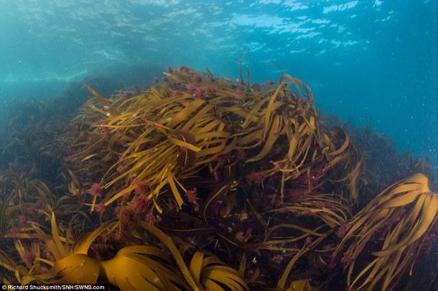 florestas subaquáticas selvagens do balanço de alga marinha nas marés de águas frias e ricas em nutrientes do Oceano Atlântico da costa escocesa