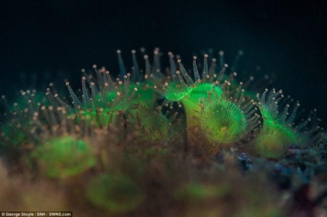Suplantando os seus vizinhos do recife são impressionantes anêmonas jóia verde, filtrando o plâncton das águas frias